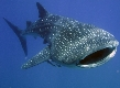 Whale Shark Speciality